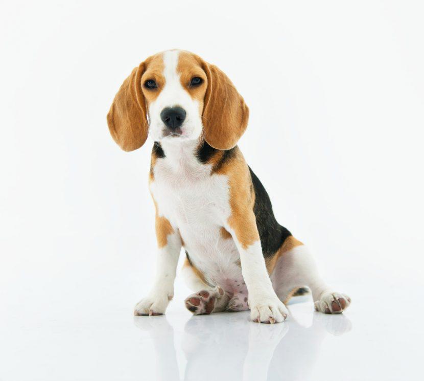 פריצת דיסק לכלב